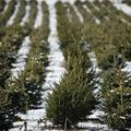 Honnan jön, hova megy a karácsonyfa?