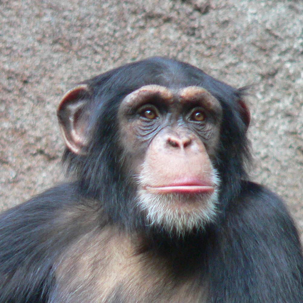 chimpanzee-head.jpg