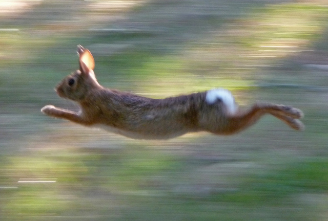 running rabbit.jpg