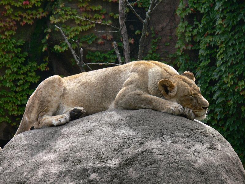sleepig_lion.jpg