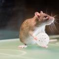 Kosárlabdázó patkányok