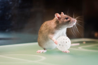 patkány.jpg
