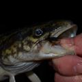 A menyhal műlegyes horgászata