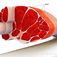 Kiegészítő anatómia testépítőknek: a titokzatos fascia