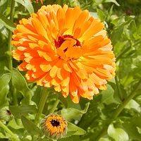 Körömvirág gyógyszer és dísznövény