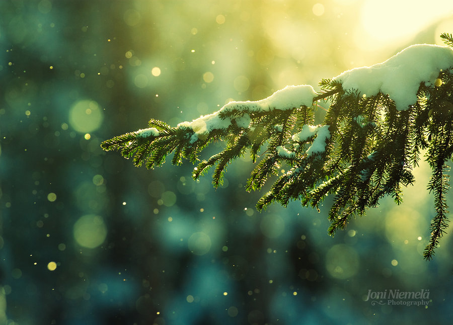 pine_needles_in_the_snowfall_by_nitrok-d2kyn19.jpg