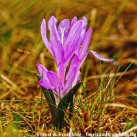 A tavasz színes hírnöke - az egyhajú virág