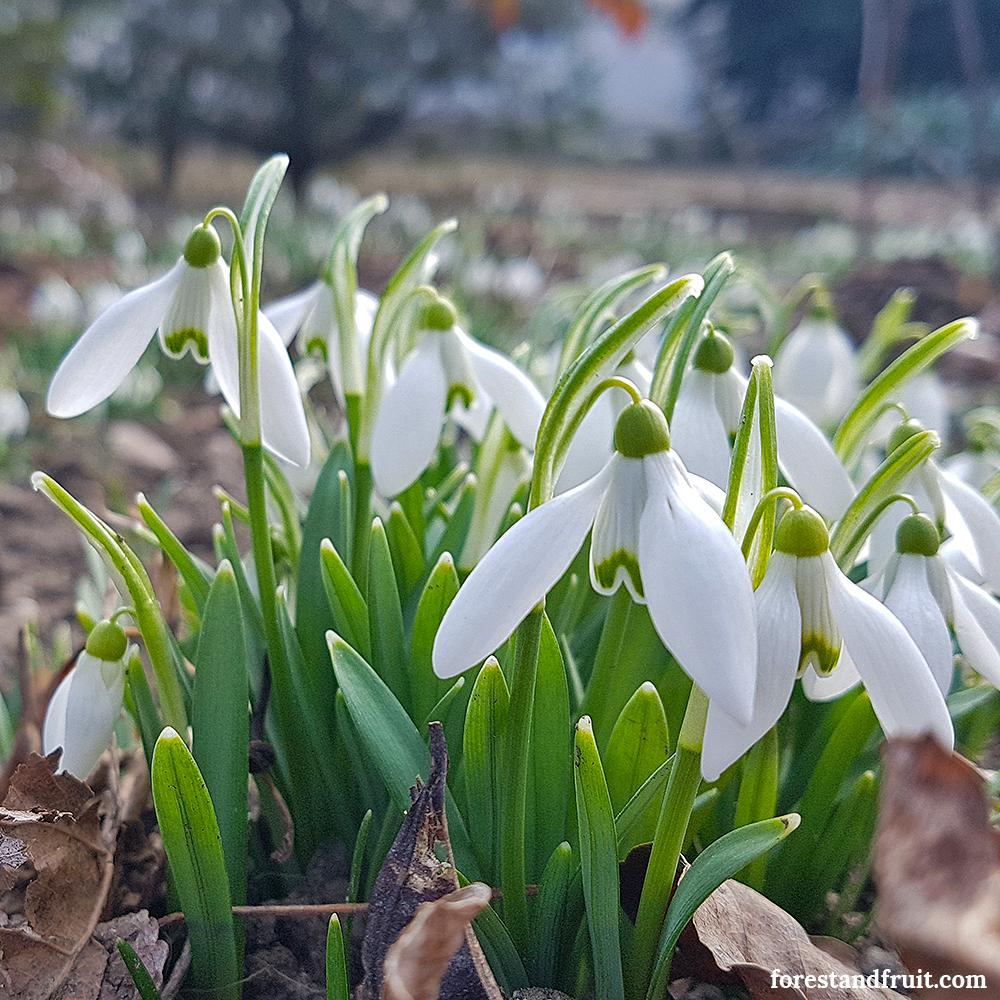 Hóvirág 2018. február
