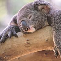 A Jobbik és a koala