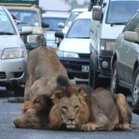 A nap képe(i) 2013. 02. 13. - Oroszlánok okoztak forgalmi dugót Nairobiban.