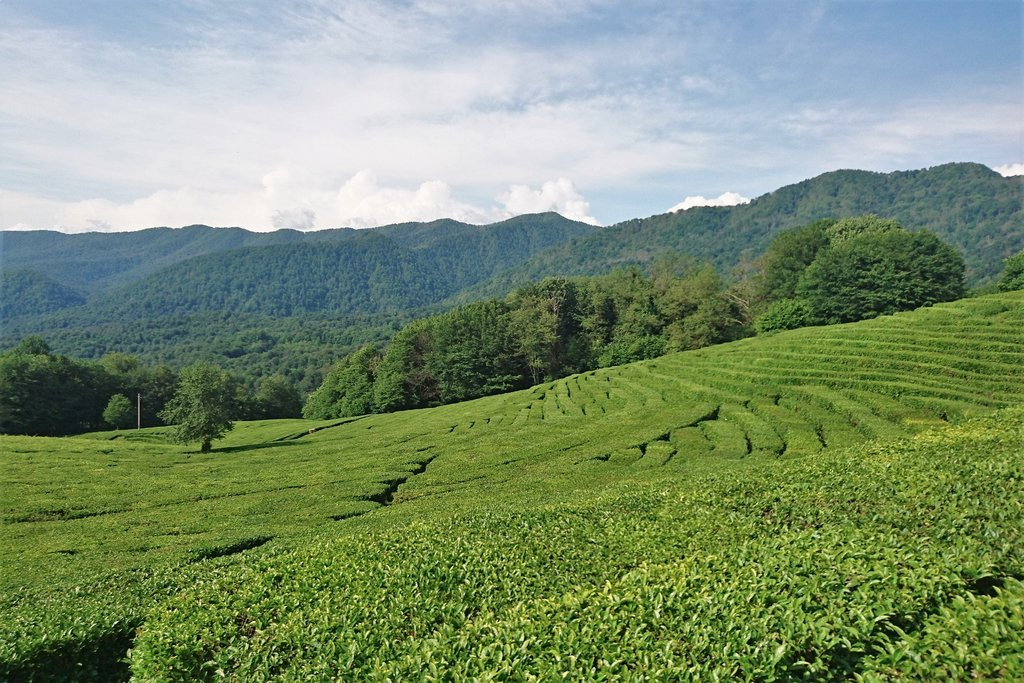 sochi_tea_plantation_1024x1024.jpg