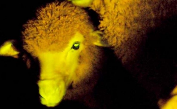 scientists-in-uruguay-modified-sheeps-genes-with-luminescent-jellyfish-protein-that-causes-them-to-glow-green-in-uv-light_1370712544.png_600x370