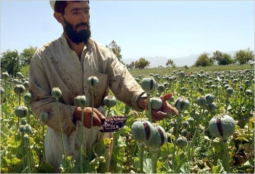 opium-poppies-afghanistan.jpg