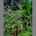 Asparagaceae - Spárga félék