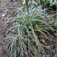 Juncaceae - Szittyó félék
