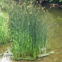 Cyperaceae - Sás félék