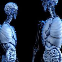 3D szervmodellek az emberi testhez