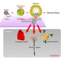 Köldökzsinórvér-őssejtek, sejtbankok 2: ellenérvek