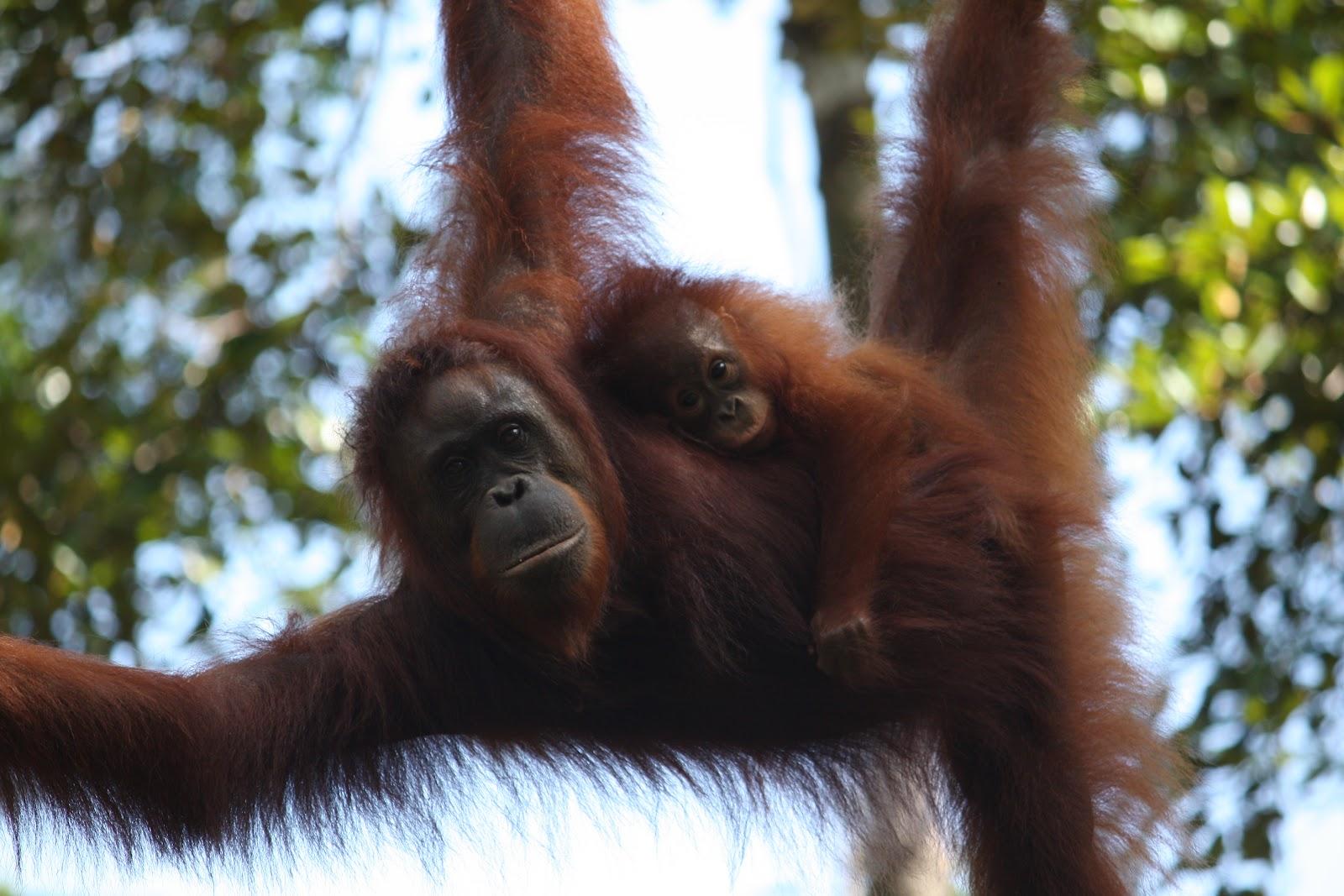 Orangután anya kisdeddel