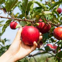 Az igazi szupergyümölcs: az alma