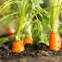 A sárgarépa öt nagyon jó hatása a szervezetre