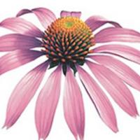 Echinacea a nátha ellen