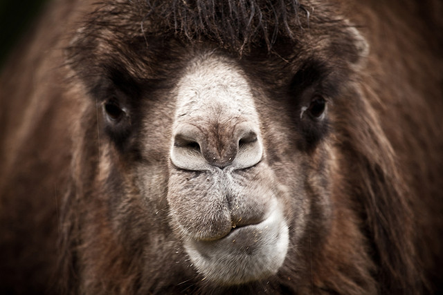 angry-camel-face.jpg