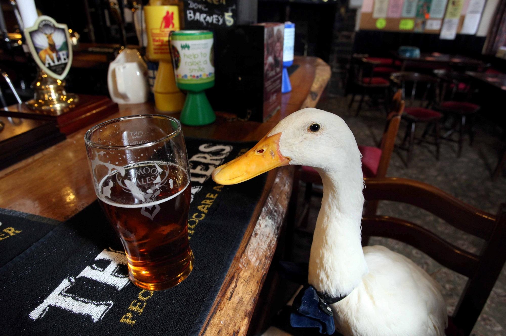 swns_drinking_duck_07.jpg