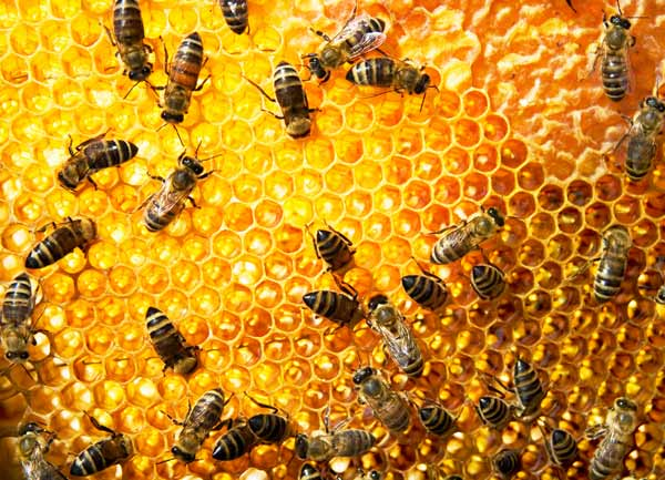 Bee pure 6.jpg