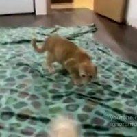 Cica vs vadászgörény -videó