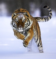 Siberian Tiger-072032 RAW.JPG