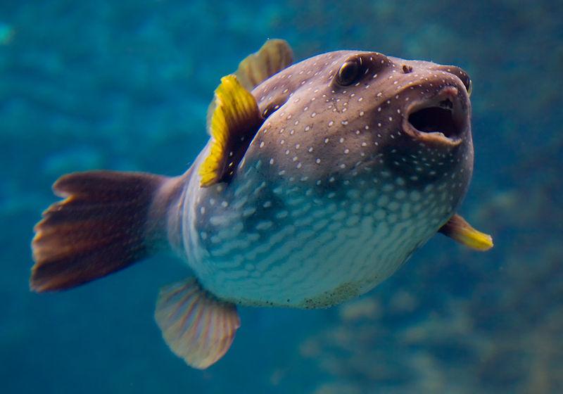 800px-arothron_hispidus_churaumi_aquarium.jpg