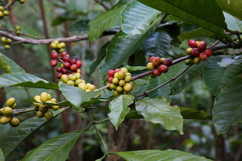 800px-coffeeberry.jpg