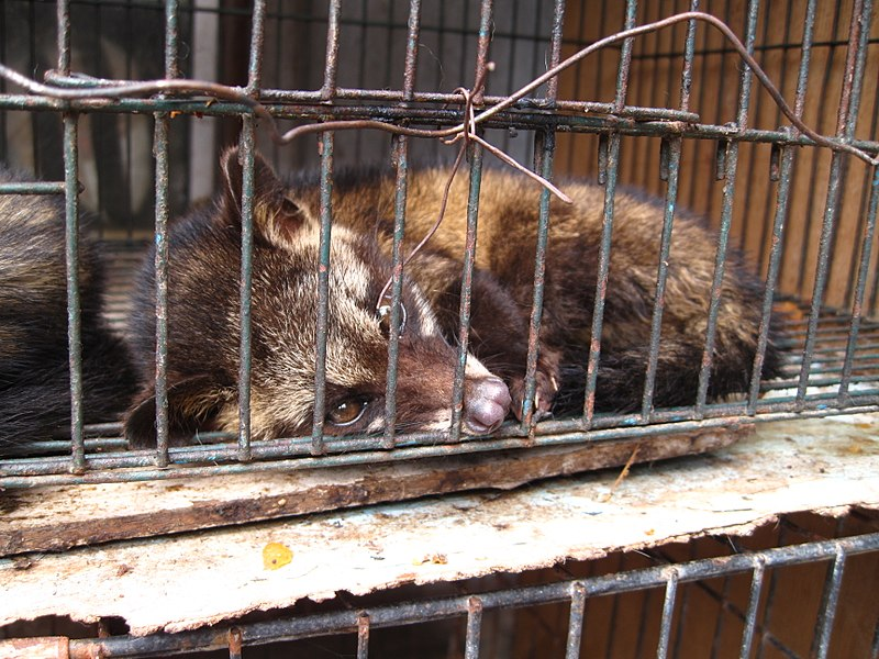 800px-luwak_civet_cat_in_cage.jpg