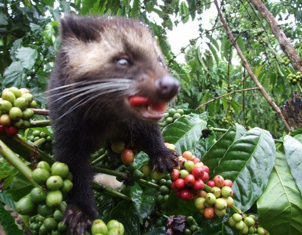 kopi-with-luwak1_1024x1024.jpeg