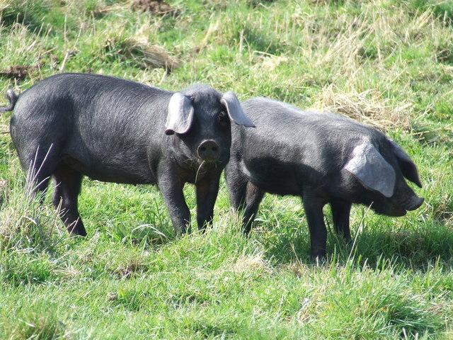 large_black_breed_piglets.jpg