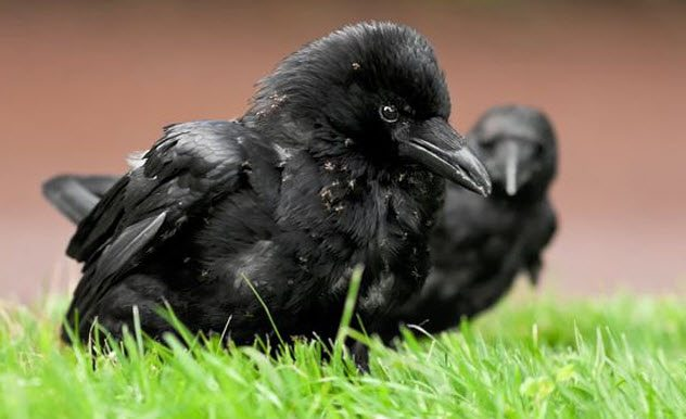 6-crow-anting.jpg