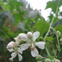 Négyméteres fehér virágok látják el energiával Szolnokot