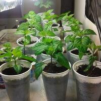1 hónappal az ültetés után