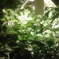 Chili hidropónia a Zölderdővel 133. nap Termésekre várva