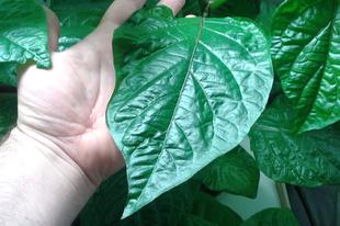 Chili hidropónia a Zölderdővel 60. nap Növekedés és az első bimbók