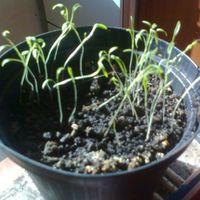 Szevasz növény