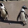 Elhidegültek egymástól a meleg pingvinek