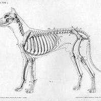Kutya anatómiai felépítése