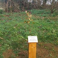 Gyuri bácsi fája