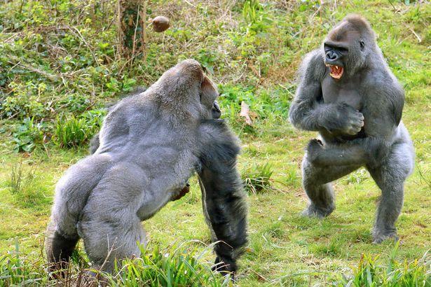 06_gorillas.jpg