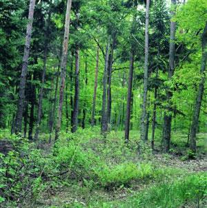 Fakivágás erdőben