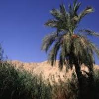 Kétezer éves pálmamag kel életre