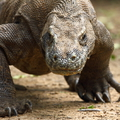 Veszélyben a sárkányok Komodo szigetén