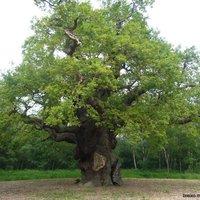 Gázlovagok fenyegetik Robin Hood fáját